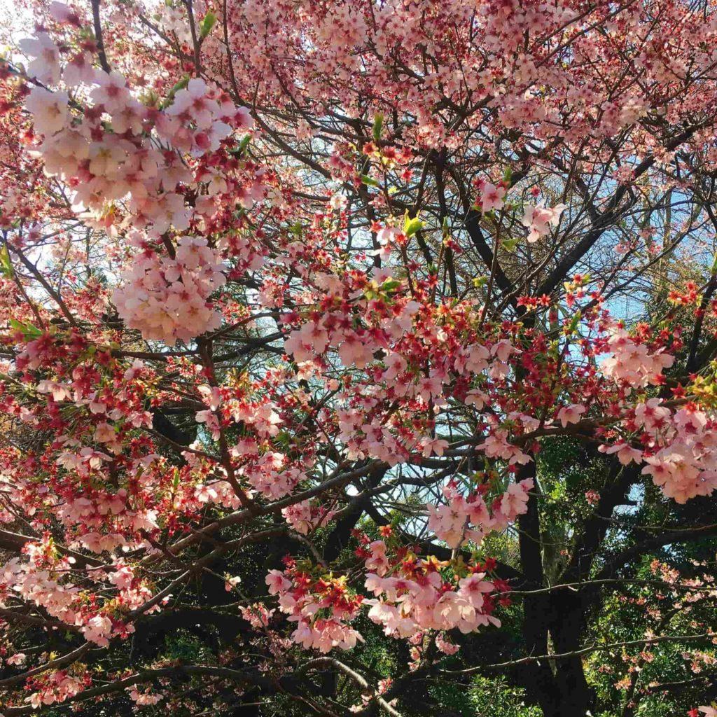 2020年の新宿御苑の桜